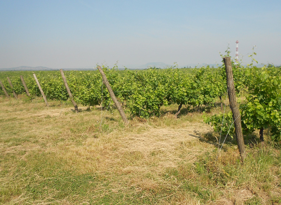 Lokking across the vineyards towards Badacsony